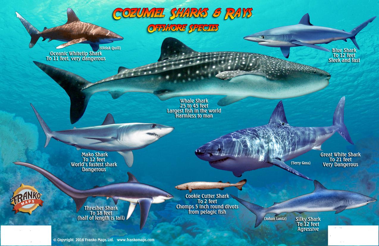Franko Maps Cozumel Sharks Rays Card